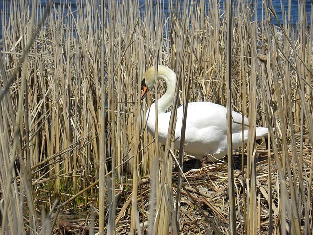 Free swan nesting pond bird water