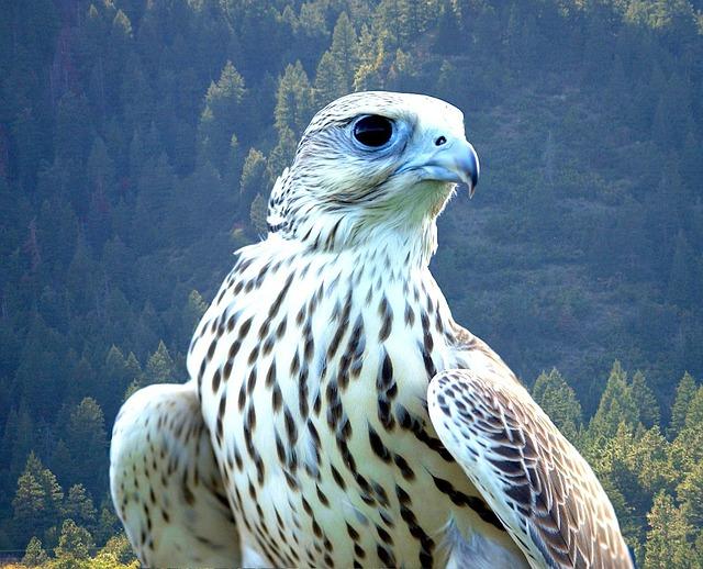 Free falcon white bird beautiful predator hunter