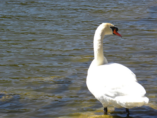 Free swan pond water animal bird white