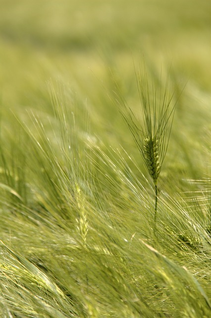 Free germany farm field crop grass young green wheat