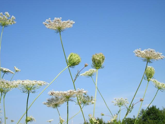 Free daucus carota sky clouds plant plants flower