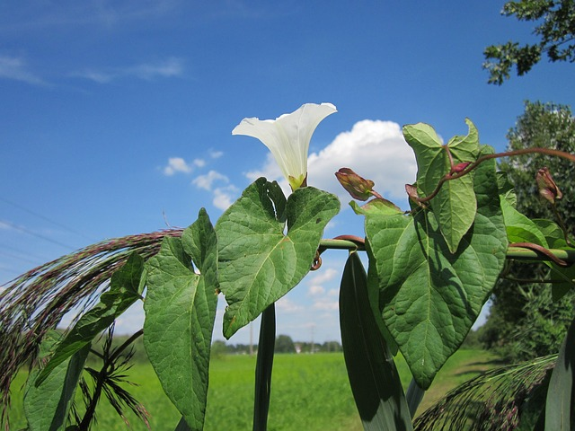 Free sky clouds calystegia sepium plant plants flower