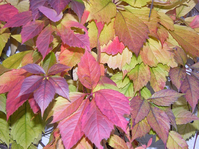 Free colorful vine autumn leaves colored emerge