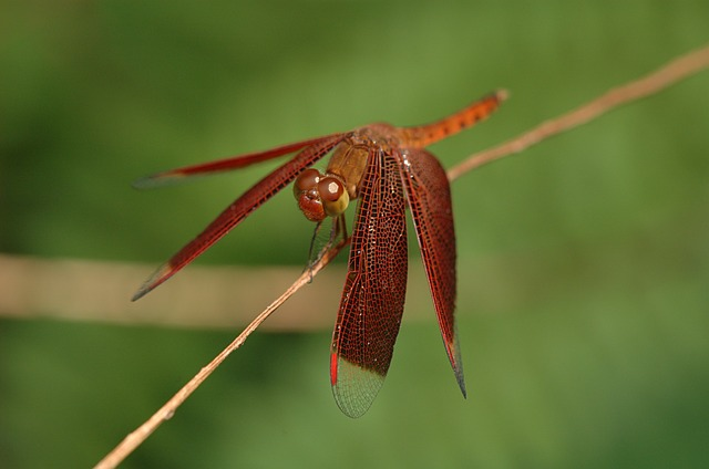 Free neurothemis dragonfly insect stem nature outside