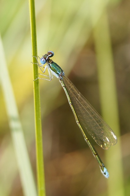 Free Photos: Nehalennia speciosa insect dragonfly nature outside | David Mark