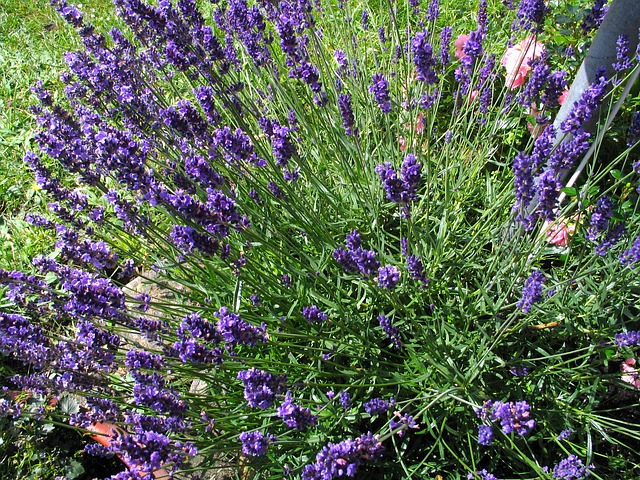 Free lavender flowers flower plant purple