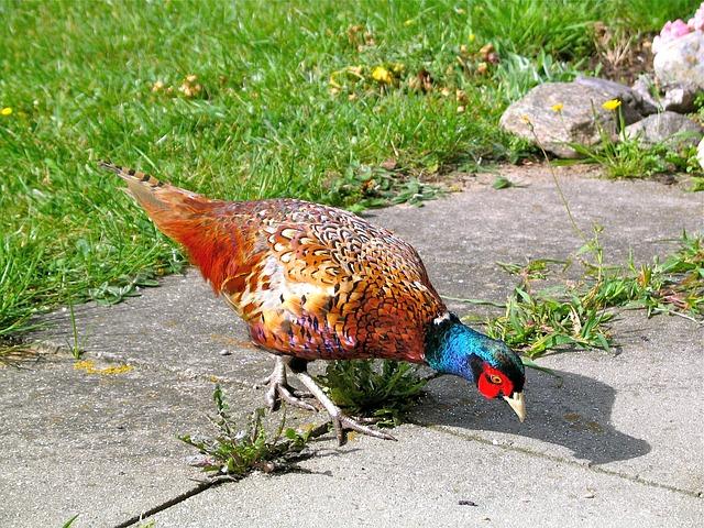 Free pheasant nature animal plumage phasianus colchicus
