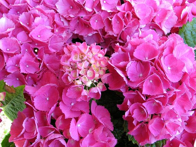 Free bale stock hydrangea pink garden flowers plant