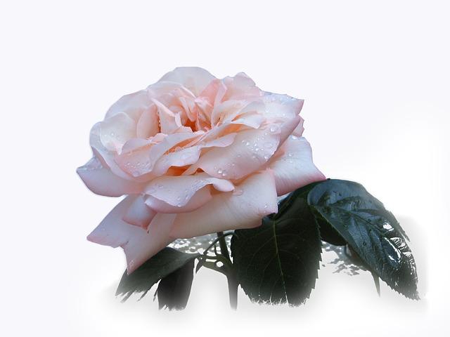 Free rose flower beautiful noble pink