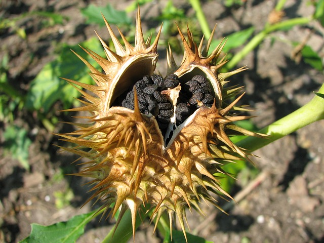 Free datura seed nature