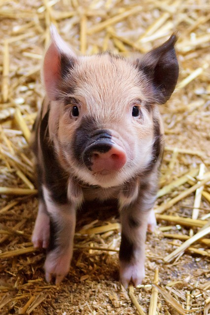 Free agriculture animal baby cute domestic farm