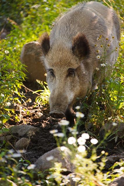Free animal boar brown eye forest fur hair hog