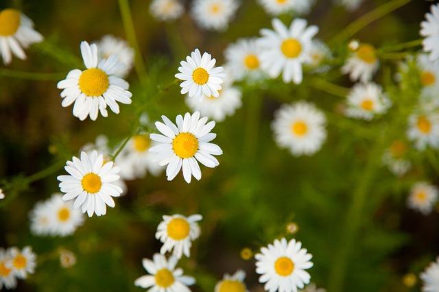 Free blossom bright camomile chamomile daisy field