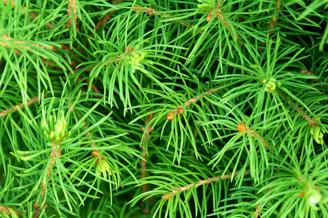 Free background branch branches coniferous evergreen