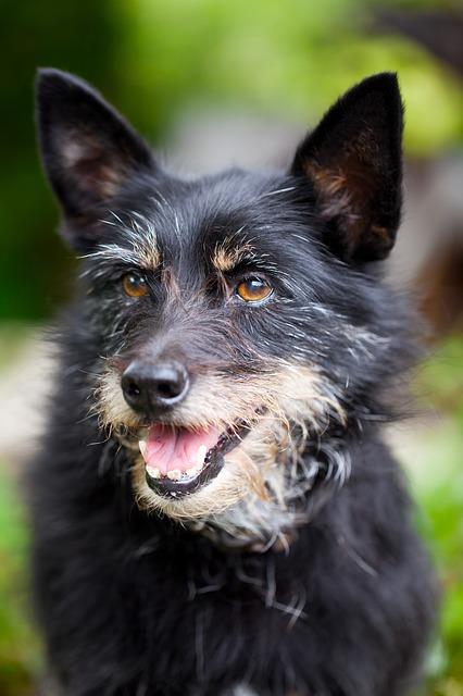 Free adult animal black cute dog doggy ear expression