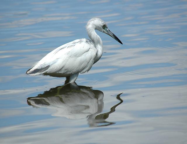 Free egret white bird heron