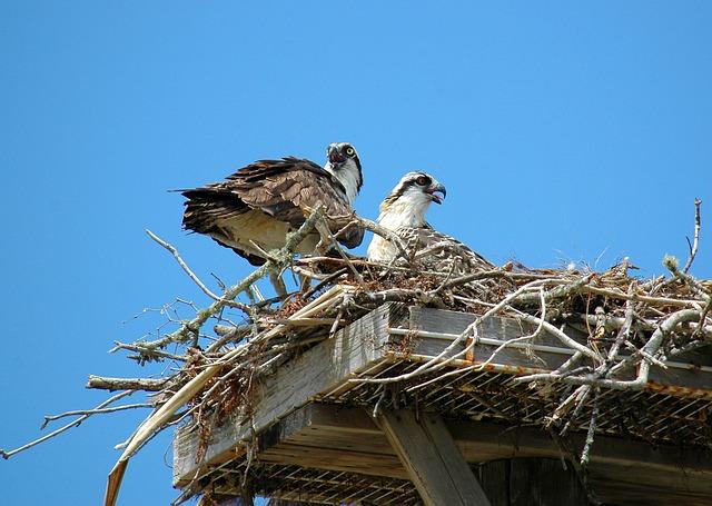 Free ospreys hawks birds nest young birds of prey