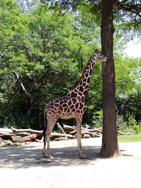 Free giraffe eating zoo brookfield illinois