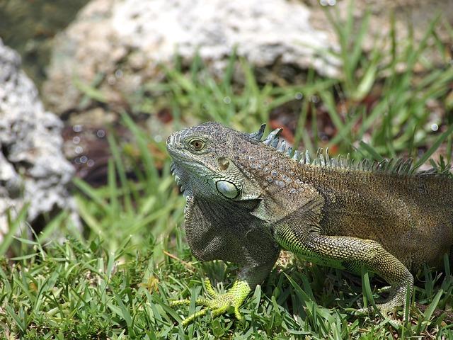 Free iguana lizard reptile