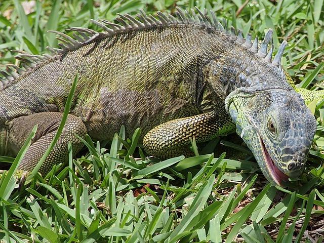 Free iguana lizard reptile feeding