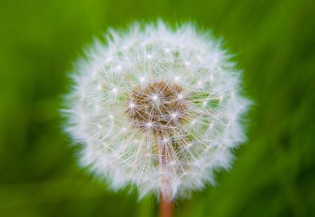 Free Photos: Dandelion dandelions light effect fluff nature | PublicDomainPictures