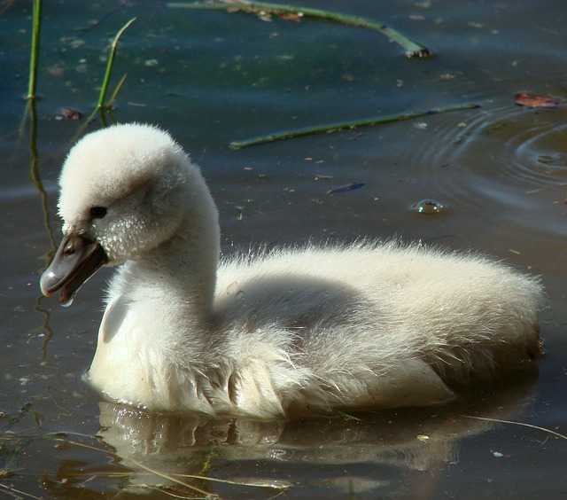 Free cygnet baby swan sitting water nature