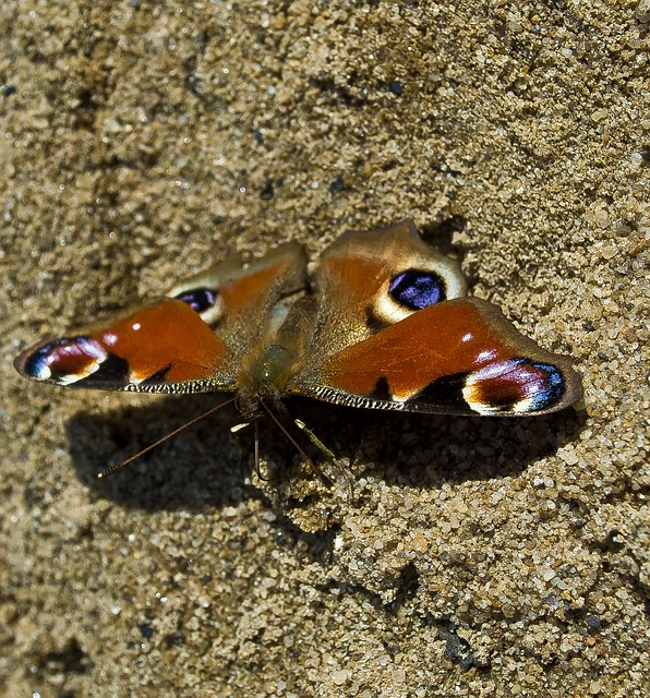 Free butterfly macro nature season insects animals