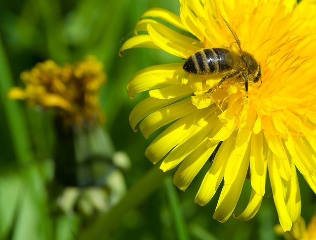 Free bee dandelion season flower insect spring nature
