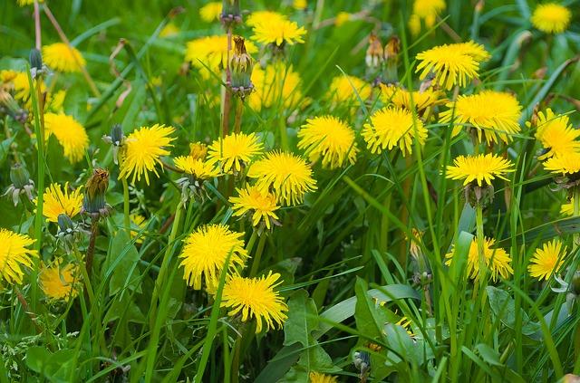 Free dandelion dandelions fluff nature macro season