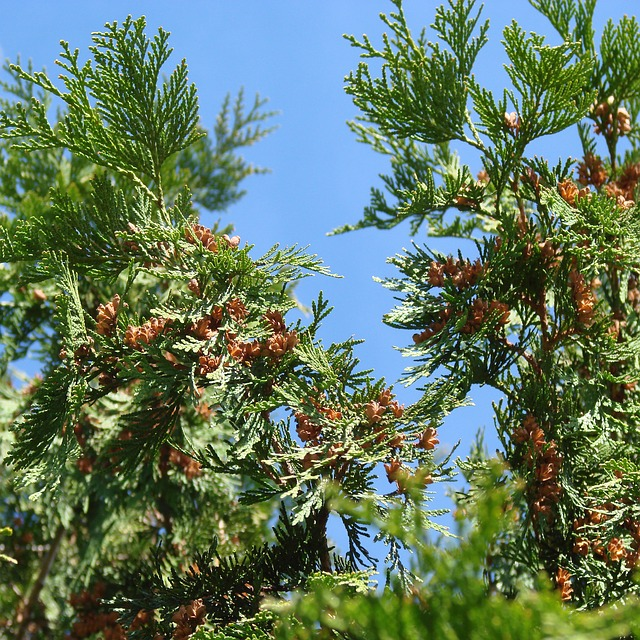 Free evergreen tree green blue sky nature