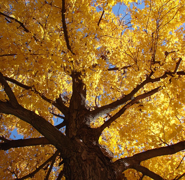 Free tree look up ground golden leaves fall seasonal