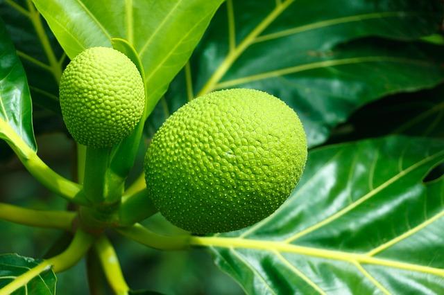 Free fruit food breadfruit ripe tasty green sweet