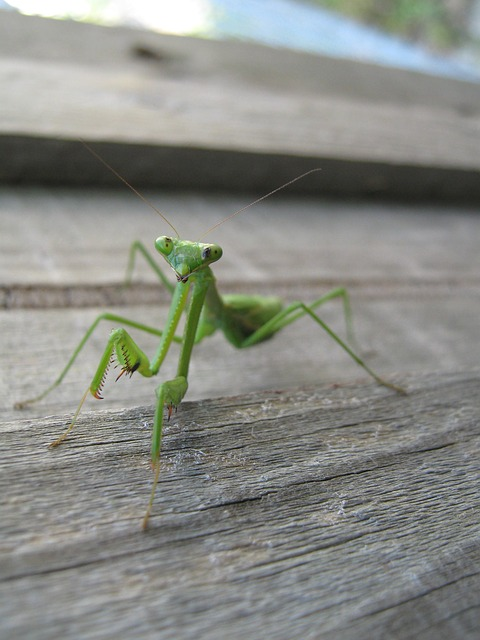 Free nature insects praying mantis green