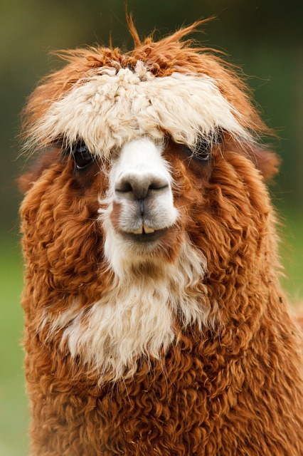 Free alpaca animal single brown curly face fluffy