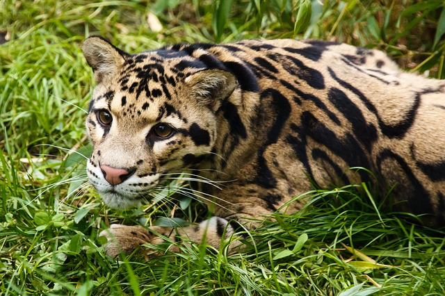 Free animal carnivore cat feline fur clouded leopard