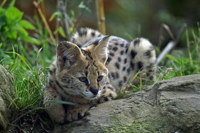 Free serval small cat wildcat predators mammals paw