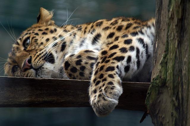 Free leopard cat predators wildcat boredom paw close