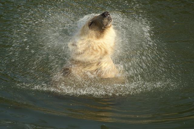 Free polar bear hybrid bear animal predator bear