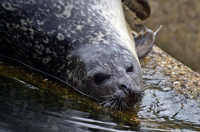 Free seal crawl north sea robbe water creature