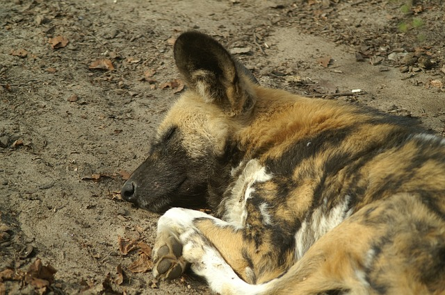 Free wild dog africa dog sleeping predator close