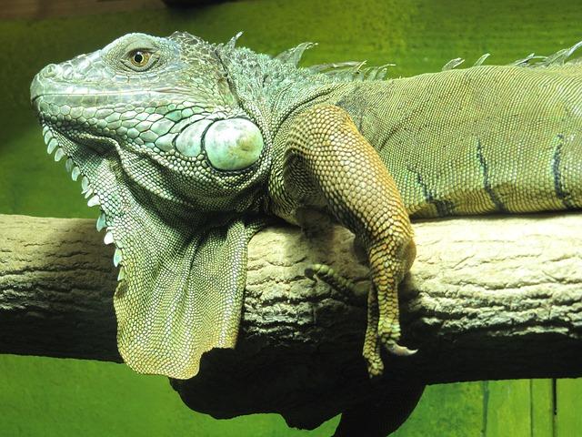 Free iguana lizard reptile green
