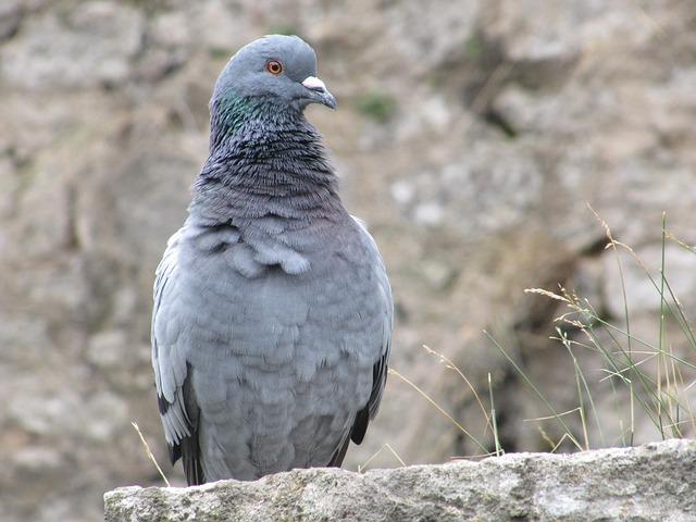 Free dove city bird grey wall stone