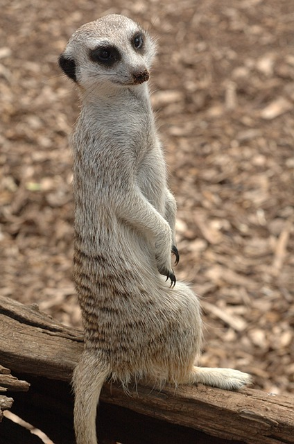 Free meerkat standing animal close-up cute wildlife