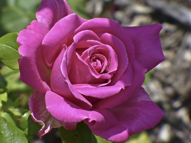 Free rose pink flower nature light shadow beautiful