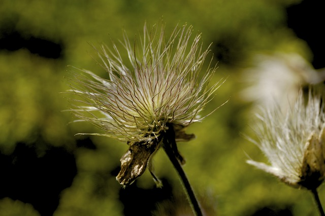 Free meadow autumn faded flying seeds