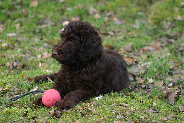 Free labradoodle dog race pet dogs brown