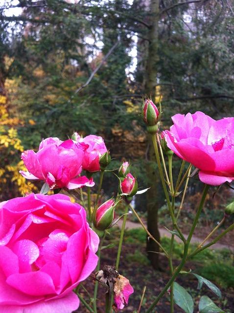 Free winter rose park flower nature flowers beautiful