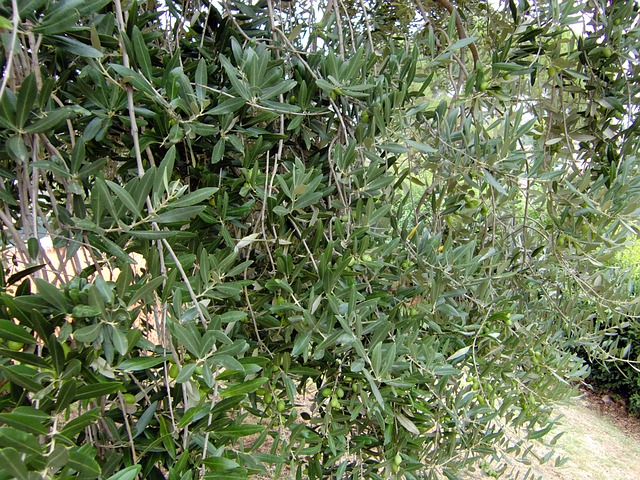 Free leaves olives tree