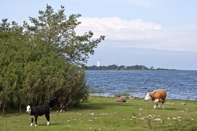 Free sweden landscape sea ocean bay water cattle