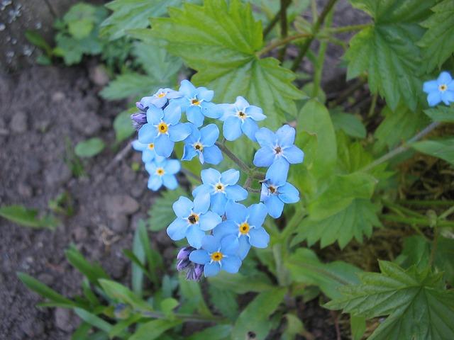 Free summer garden flower blue forget me not earth